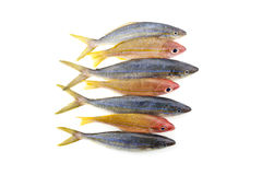 Rainbow runner fish with yellowstripe snapper fish isolated on w royalty free stock photos