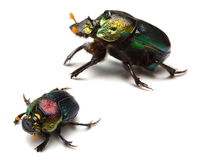 Rainbow Scarabs Stock Photos