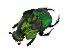Rainbow Scarabs - Phanaeus demon Royalty Free Stock Photo