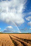 Rainbow after shower over summer wheat field Stock Image