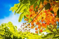 Rainbow shower tree flowers Royalty Free Stock Photography