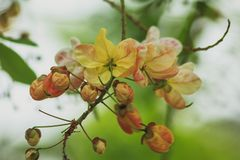 Rainbow shower tree in nature royalty free stock image