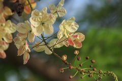 Rainbow shower tree in nature royalty free stock photos