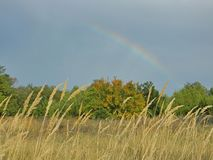 Rainbow in the sky above the forest glade. High yellow grass in the forest meadow after rain with a rainbow seen in the sky Stock Photography
