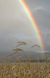 Rainbow sopra il campo di granulo immagine stock