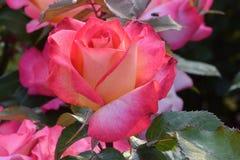 Rainbow Sorbet Rose 02 stock photos