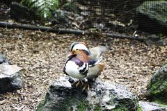 Side view of Mandarin duck on the rock in Rainbow Springs Park in the North Island of Rotorua, New Zealand royalty free stock image
