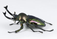 Rainbow Stag Beetle Stock Photo