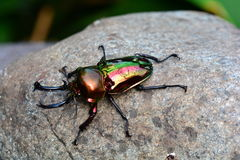 Rainbow stag beetle. A stag beetle settles on a rock for some relaxation royalty free stock image
