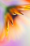 Rainbow Star. Macro abstract of orange gerbera Royalty Free Stock Photography