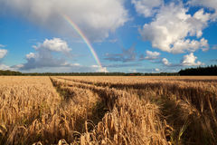 Rainbow after summer rain over wheat field Royalty Free Stock Photo