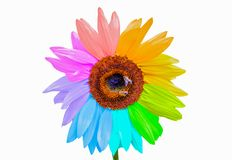Rainbow sunflower with honey bees isolated on white. Background Royalty Free Stock Photo
