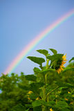 Rainbow and sunflowers. Colorful rainbow over sunflowers field Royalty Free Stock Images