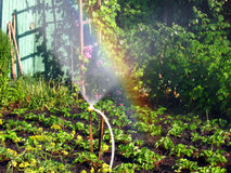 Rainbow in the sunny den, in the garden. Rainbow on a sunny day of irrigation bryzgalki, in the garden Stock Photography