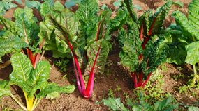 Rainbow Swiss chard with red stalks Stock Images