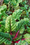 Rainbow Swiss chard with red stalks Stock Photos