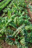 Rainbow Swiss chard with red stalks Royalty Free Stock Image