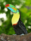 Rainbow Toucan. The tropical rainbow toucan with its stunning coloured bill  and bright yellow chest Royalty Free Stock Photography