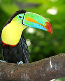 Rainbow toucan. Inquisitive Rainbow toucan sitting on a branch and observing events Stock Photos