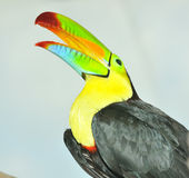 Rainbow Toucan. The glorious colours of the south american rainbow toucan Royalty Free Stock Photos
