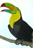 Rainbow Toucan. The rainbow toucan perching on a branch Stock Images