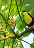 Rainbow Toucan. The rainbow toucan picking fruit from a tropical tree with its long and colourful beak Stock Image