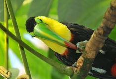 Rainbow Toucan Royalty Free Stock Photography