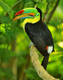Rainbow Toucan. The colorful rainbow toucan with long beak and strange tongue Royalty Free Stock Photography