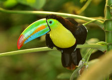 Rainbow Toucan. The rainbow toucan shoing off its long and colourful beak Royalty Free Stock Photography