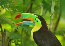 Rainbow Toucan. The tropical rainbow toucan from south america in a jungle setting Stock Image