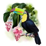 Rainbow Toucan watercolor drawing. White background Royalty Free Stock Photo