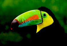 Rainbow Toucan at Waterfall Park stock photos