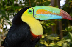 Rainbow Toucan Royalty Free Stock Photos