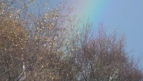 Rainbow through tree branches onto a blue sky. Rainbow seen through the tops of trees stock video