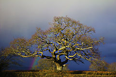 Rainbow Tree. An old oak tree stands strong amid stormy skies as a rainbow brings joy behind it Stock Photo