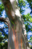 Rainbow Trees / Painted Forest, Maui royalty free stock images