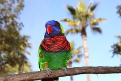 Rainbow tropicale Lorikeet Fotografie Stock Libere da Diritti