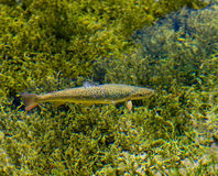Rainbow trout. Photo showing a rainbow trout in the clear water of a lake stock image