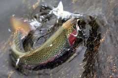 Free Rainbow Trout Stock Image - 1319151