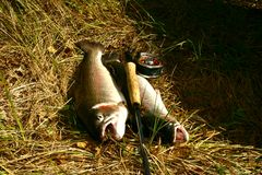 Rainbow trout. Two rainbow trouts caught on fly in sweden stock photos