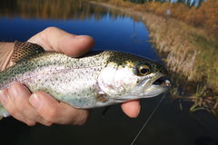 Rainbow trout. Close up of a rainbow trout caught fly fishing Stock Photo