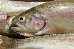Rainbow trout. Close-up of fresh organic rainbow trouts background royalty free stock photography
