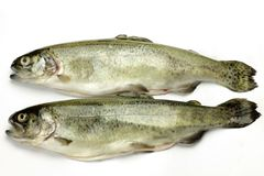 Rainbow trout. These are two rainbow trouts. I took these in a white background stock photos