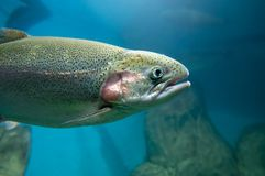 Rainbow Trout Stock Photography