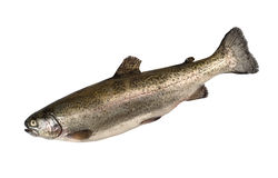 Rainbow trout Royalty Free Stock Images
