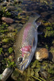 Rainbow trout. Caught on a channel durin the summer trip royalty free stock images