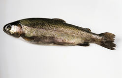 Rainbow trout. One fresh whole rainbow trout stock photography