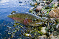 Rainbow trout. Caught on a fly during the summer trip stock image