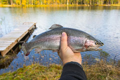Rainbow trout in angler hand. Autumn fly fishing trophy in angler hand royalty free stock image