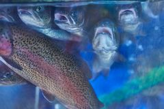 Rainbow trout in the aquarium store royalty free stock photography